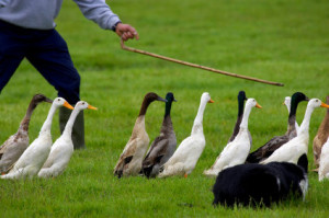 ducks_cane_prcng