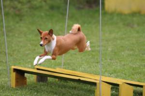 Basenji Jump