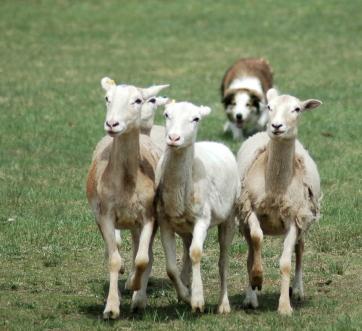 BC herding sheep