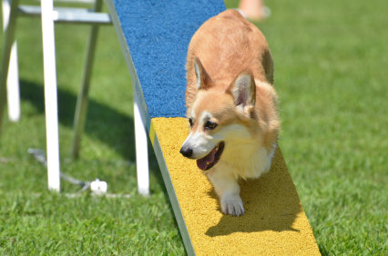 Pembroke Welsh Corgi at a Dog Agility Trial
