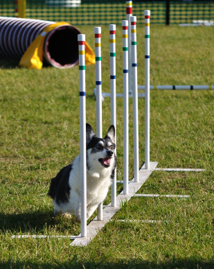 Pembroke Welsh Corgi weaving through weave poles at dog agility trial