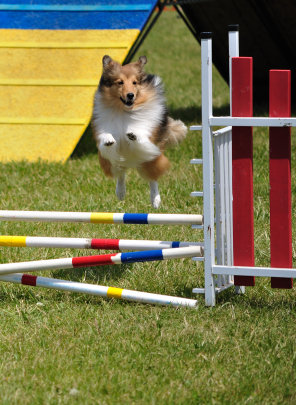 Shetland Sheepdog (Sheltie) leaping over double jump at dog agility trial